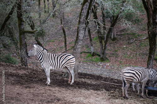 Lone Zebra facing the other way - looking away - trendsetter Poster