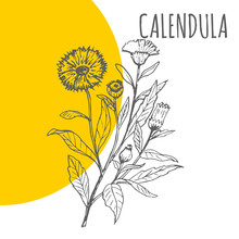 Calendula Vector Sketch Botanical Herb For Calendula Aroma Essential Oil Or Herbal Cosmetic Or Medicine Package