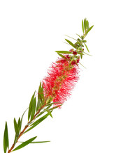 Melaleuca Tea Tree Twig With Flowers. Isolated On White Backgr