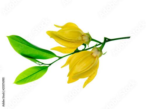 Fototapeta fragrant flowers of climbing ylang-ylang obraz