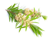 Melaleuca Tea Tree Twig With F...
