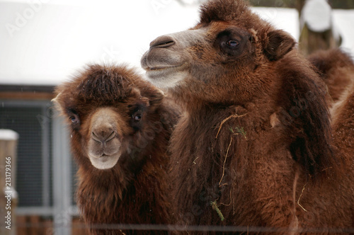 Foto op Aluminium Kameel Portrait of two camels in the zoo
