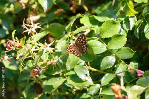 Fotografie, Obraz  Papillon Tircis posé sur une feuille
