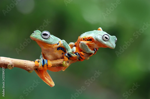 Tree frog, flying frog