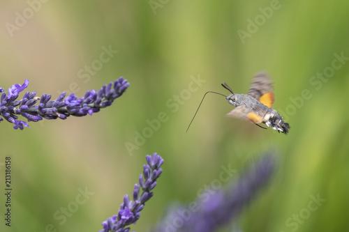 Fotografie, Obraz Taubenschwänzchen bei Nektarsuche an Lavendel