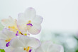 White orchid flower pattern.selective focus with blur abstract background.