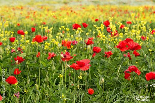 Szare   kwiaty-polne-w-kolorze-czerwonym