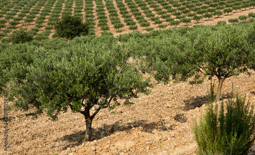 Tuinposter Olijfboom Olive trees in Provence
