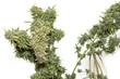 Big Bud, Close up, Marijuana plant, cannabis, flower photo, Cannabis Bud, Ready for Harvest