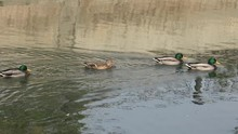 ULTRA HD 4K Group Wild Duck Sa...