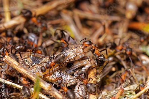 Plakat Czerwone drewniane mrówki tropi pasikonika w anthill, Danubian bagna, Sistani las, Europa