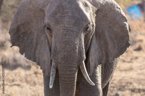 Foto op Canvas Olifant African Bush Elephant