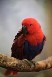 Fototapeta Tęcza - papuga