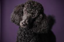 Portrait Of Black Standard Poodle