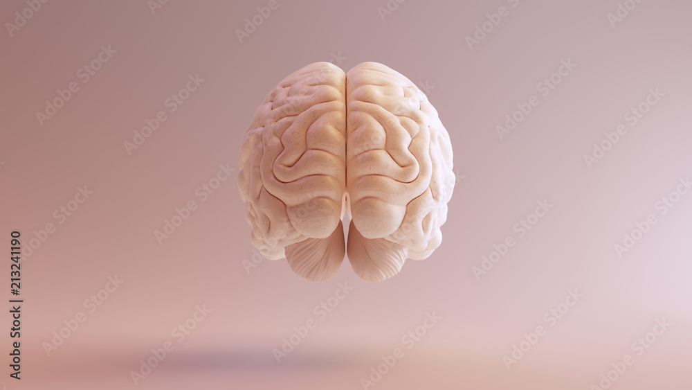 Fototapety, obrazy: Human brain Anatomical Model 3d illustration