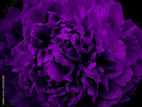 violet lilac ink flower. macroshooting. nature. freshness. texture. background. - 213242166