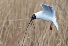 Black Headed Gull, St Aidan's, West Yorkshire