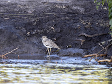 Spotted Thick-knee, Burhinus C...