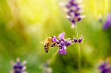Honey Bee On A Lavender And Co...