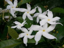 Starry White Periwinkle Flowers