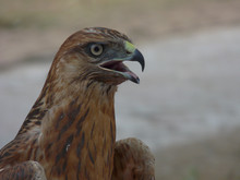 Young Hawk Of Bronze Color Wit...