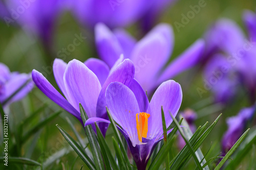 Foto op Canvas Krokussen Low angle view of purple crocuses in bloom