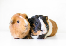 A Pair Of American Guinea Pigs