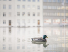 Close-up Of Mallard Duck Swimming On Lake Against Buildings In City