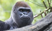 Gorilla Headshot [DSC3424]