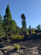 Tall Fir Trees And Bushes Growing Out Of The Hardened Lava Rock In The Forests Of Western Oregon On A Sunny Summer Morning