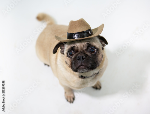 Cute pug dog wearing a cowboy hat   sitting and looking up and on a white  background 9b2bae39849