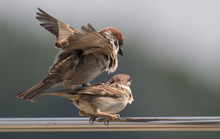 Tree Sparrow Pair Copulation