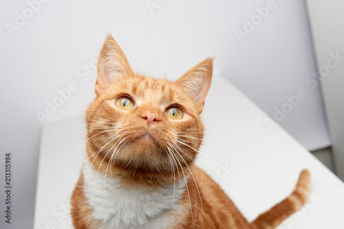 Fotografiet Handsome ginger tabby red cat sitting on a white table curiously looking up