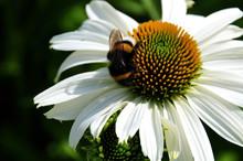Bumblebee On White Coneflower