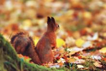 Squirrel In Autumn / Autumn Po...