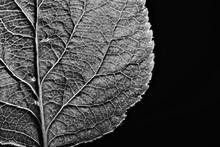 Leaf Texture Black And White /...
