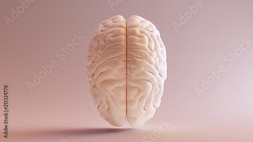 Obraz Human brain Anatomical Model Top 3d illustration - fototapety do salonu