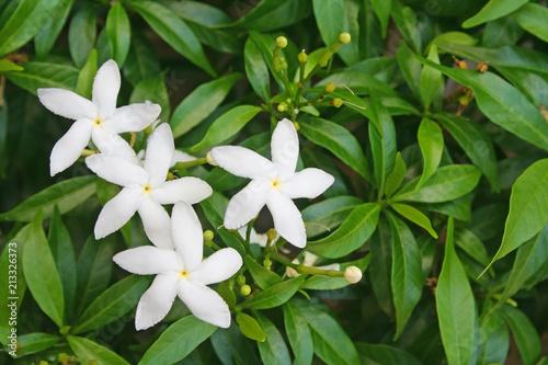 Valokuvatapetti White Sampaguita Jasmine Flowers