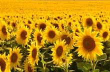 Sarı Kafalı Ayçiçekleri