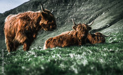 Fototapeta Wild nordic cows with beautiful fur looking into the camera while lying and standing on a green field surrounded by beautiful green mountains and backlight on their fur obraz