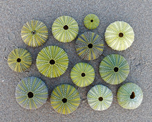 Collection Of Green Sea Urchin Shells On Wet Sand