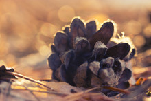 Pine Cone Close-up On Blurred Background