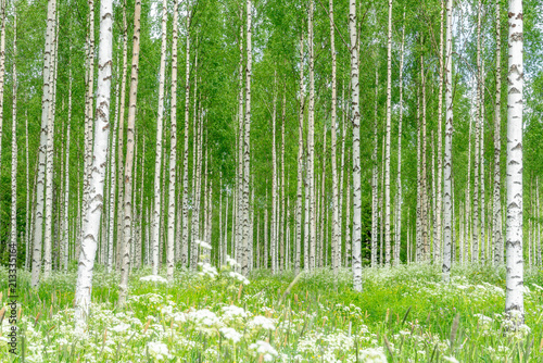 Birch trees and a green meadow in summer day in Finland