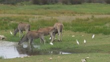 A Small Herd Of Eland (Taurotragus Oryx) At A Water Hole In South Africa With Egrets Surrounding Them