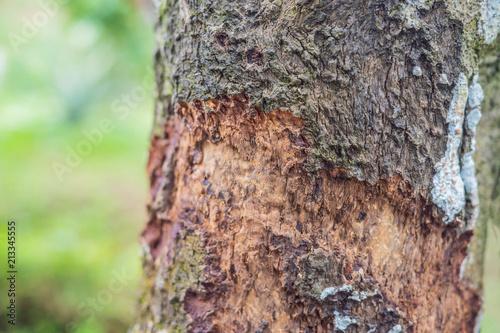 Slika na platnu Cinnamon tree bark taken on plantation, Malaysia