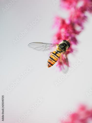 Schwebfliege auf einer Astilbenblüte