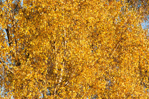 Golden leaves of the autumn birch