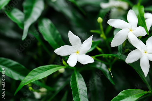 Photo Jasmine flowers blossoming on bush in sunny day soft focus