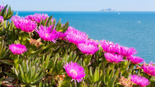 Carpobrotus Flowers Near The S...
