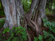 Two Trees With Intertwined Trunks And Roots